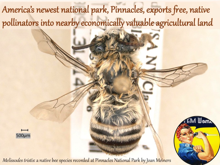 Melissodes tristis: a native bee species recovered from Pinnacles National Park. Photo courtesy of Joan Meiners